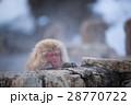 地獄谷野猿公苑のスノーモンキー 28770722