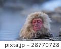 地獄谷野猿公苑のスノーモンキー 28770728