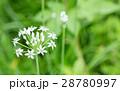 ニラの花 28780997