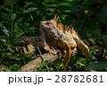 動物 爬虫類 イグアナの写真 28782681