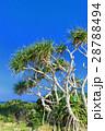 植物 アダン 葉の写真 28788494