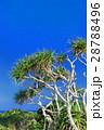 植物 アダン 葉の写真 28788496