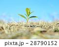 発芽 葉 新芽の写真 28790152