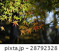 初秋 紅葉 葉の写真 28792328