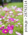 コスモス コスモス畑 花畑の写真 28792514