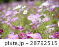 コスモス コスモス畑 花畑の写真 28792515