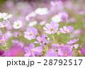 コスモス コスモス畑 花畑の写真 28792517