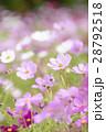 コスモス コスモス畑 花畑の写真 28792518