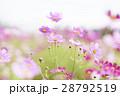 コスモス コスモス畑 花畑の写真 28792519