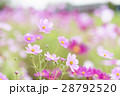 コスモス コスモス畑 花畑の写真 28792520