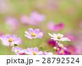 コスモス コスモス畑 花畑の写真 28792524