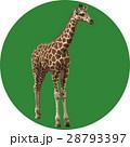 キリン 動物 哺乳類のイラスト 28793397