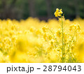菜の花 28794043