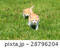 子猫の兄弟♪ 28796204