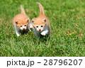 子猫の兄弟♪ 28796207