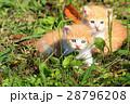 子猫の兄弟♪ 28796208