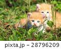 子猫の兄弟♪ 28796209