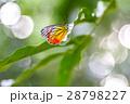 背景 チョウ 蝴蝶の写真 28798227