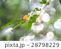背景 チョウ 蝴蝶の写真 28798229