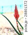 アロエ 花 キダチアロエの写真 28801372