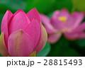 蓮 大賀蓮 花の写真 28815493