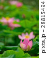 蓮 大賀蓮 花の写真 28815494