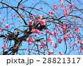 紅梅 梅 ピンクの写真 28821317
