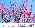 紅梅 梅 ピンクの写真 28821467