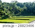 バリ島 水田 ヤシの木の写真 28823406