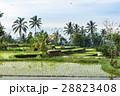 バリ島 水田 ヤシの木の写真 28823408