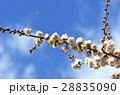 梅 シラウメ 春の写真 28835090