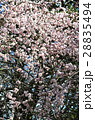 シダレウメ 枝垂れ梅 ピンクの写真 28835494