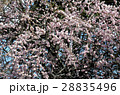 枝垂れ梅 梅 ピンクの写真 28835496
