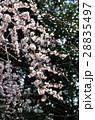 枝垂れ梅 28835497