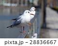 鳥 カモメ 鴎の写真 28836667