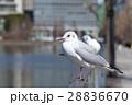 鳥 カモメ 鴎の写真 28836670