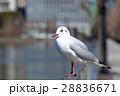 鳥 カモメ 鴎の写真 28836671