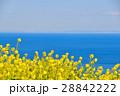 早春 菜の花 28842222