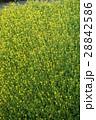 菜の花  28842586