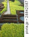 風景 菜の花 28842587