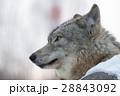 狼 イヌ科 動物の写真 28843092