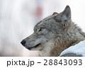 狼 イヌ科 動物の写真 28843093