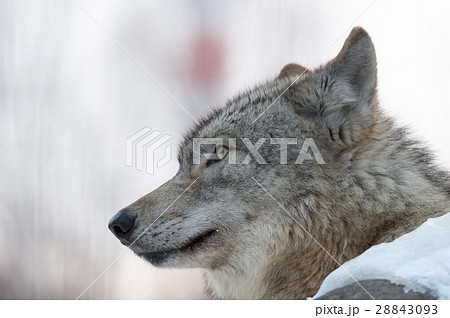 シンリンオオカミ 28843093