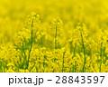 菜の花 花 油菜の写真 28843597