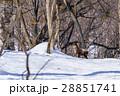 ニホンカモシカ カモシカ 積雪の写真 28851741