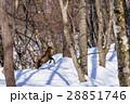 ニホンカモシカ カモシカ 積雪の写真 28851746