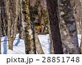 ニホンカモシカ カモシカ 冬の写真 28851748