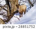 ニホンカモシカ カモシカ 積雪の写真 28851752