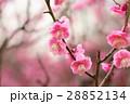 花 アップ 梅の写真 28852134