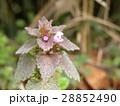 紫色の花を咲かす春の野草ヒメオドリコソウ 28852490